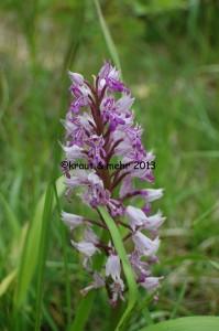 Heimische Orchidee