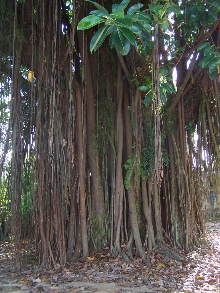 Baumstamm eines Gummibaumes in Brasilien